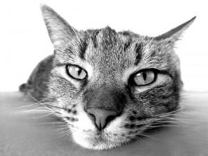 Liegende Katze: Katzenpsychologie hilft auch gegen Langeweile!